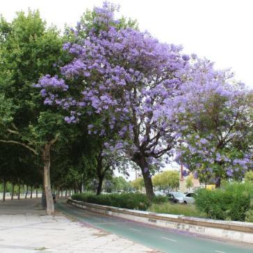 Copaci mov Seville