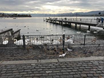 Lebede rau Limmat Zurich